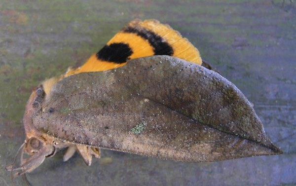アケビコノハの成虫
