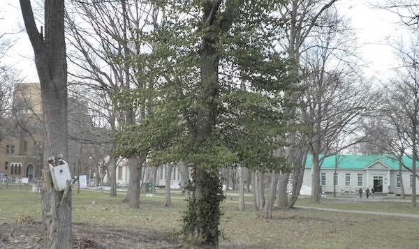ツルマサキの木
