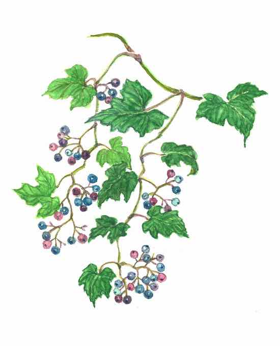 春日のノブドウ