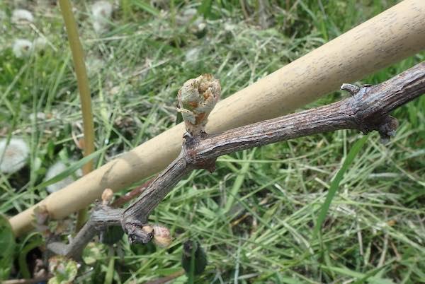ブドウの芽