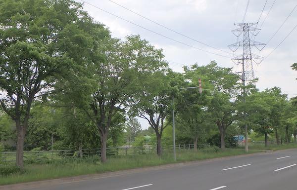 ハルニレ並木