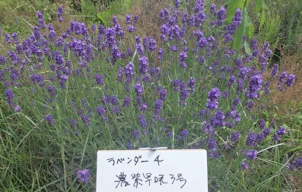 濃紫早咲き3号
