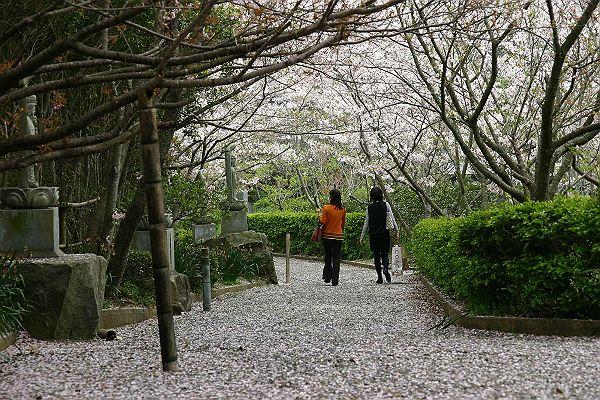 心月斎の桜