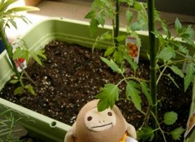 ミニトマト植え付け 2008年4月15日