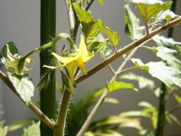 ミニトマト 2008年4月開花