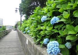 あじさい 遊歩道にて 2009年6月