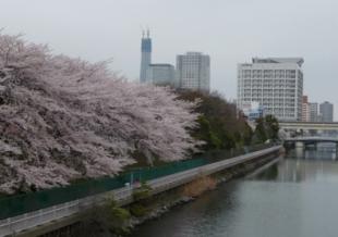 2010年4月 桜と建設中のスカイツリー1