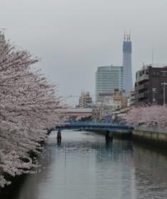 2010年4月 桜と建設中のスカイツリー2