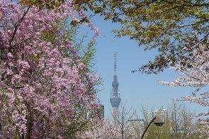 桜と東京スカイツリー 2011年4月