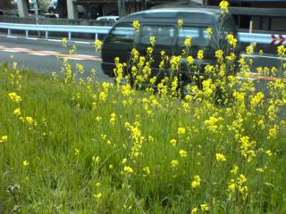 道沿いにさく菜の花