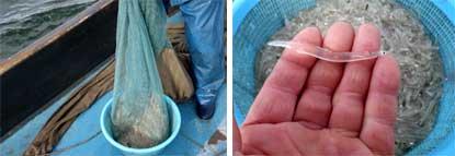 シラウオ漁解禁