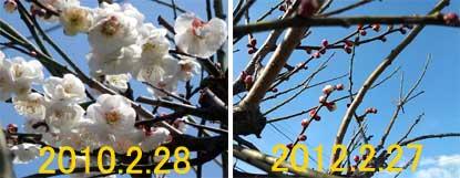 2012.2.27.梅の様子
