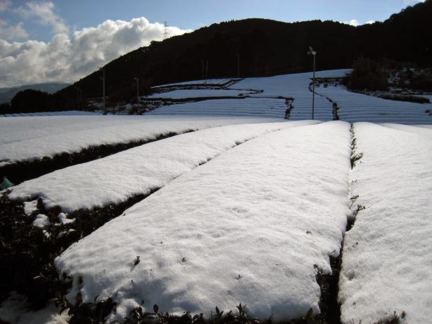 お茶畑の雪(その1)