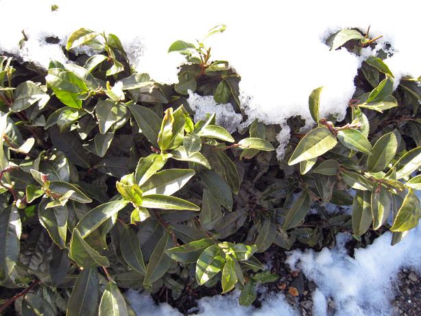お茶畑の雪(その2)