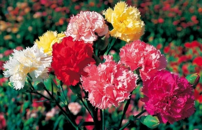 carnation-cut-flower-1024x663-1024x663.jpg