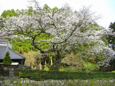東峰村玉来の一本桜