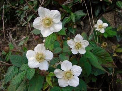 野いちごの花
