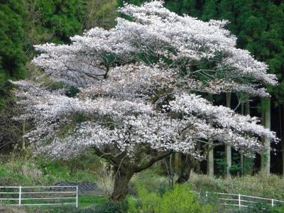 塔の元の一本桜