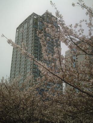みなとみらい桜