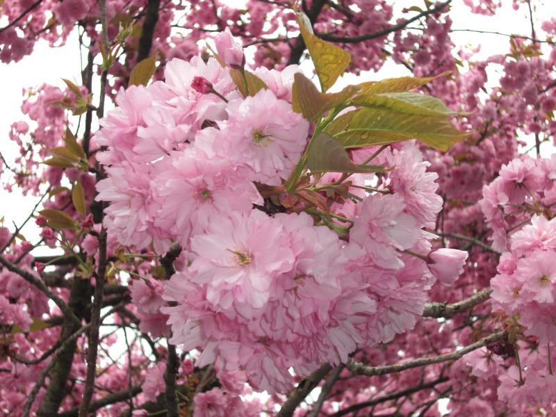 2150八重桜(7).jpg