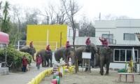 行進しながら入ってくる象たち