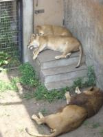 暑さでダルダルのライオンの親子