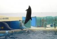 湘南の海をバックにジャンプするイルカ