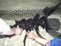 タッチプールで触られまくるサメたち