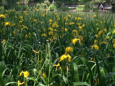 石神井公園花