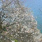 奥多摩湖 湖畔の梅