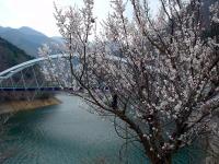 奥多摩の桜