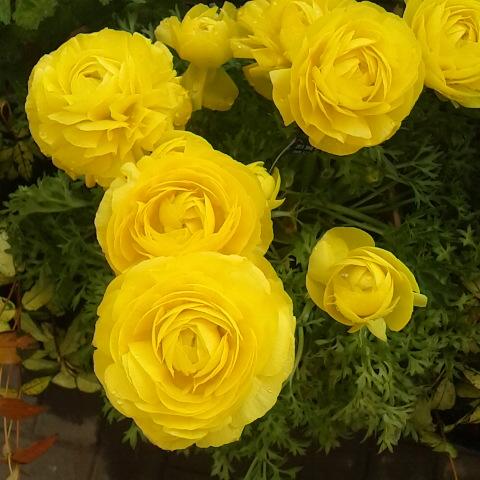 4月3日の誕生花はラナンキュラス...
