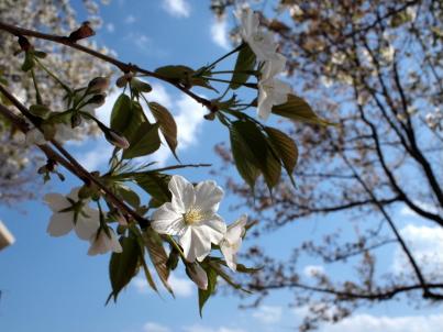 大久野島の桜1