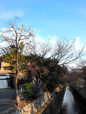 白川疎水沿いの柿の木