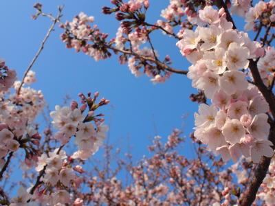 鴨川塩小路の桜