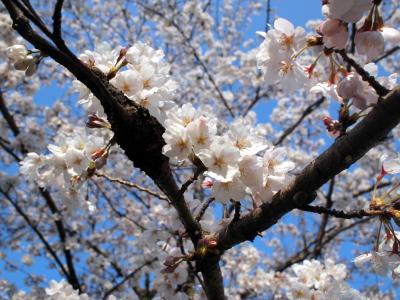 東本願寺前の桜