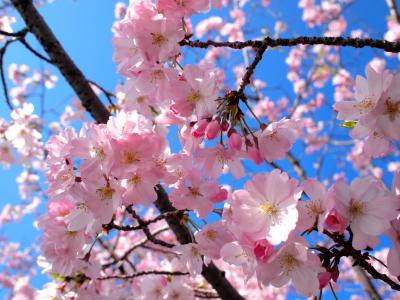 鴨川五条下ルの桜