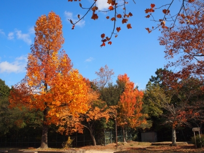 公園の紅葉1