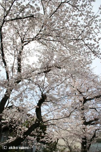 小池公園の桜2011