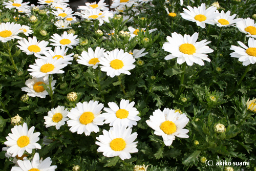 小池公園のお花1