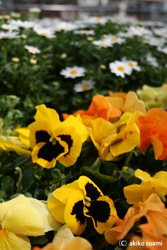 小池公園のお花2