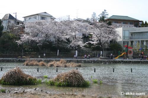 小池公園の桜2011b