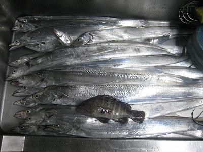 太刀魚22本とハタ