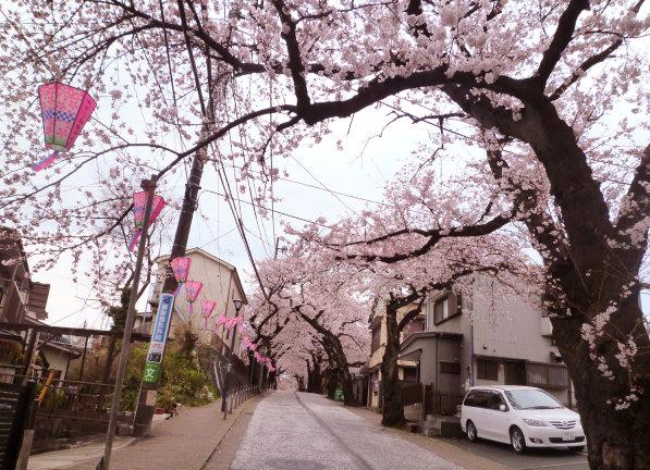 桜道のさくら