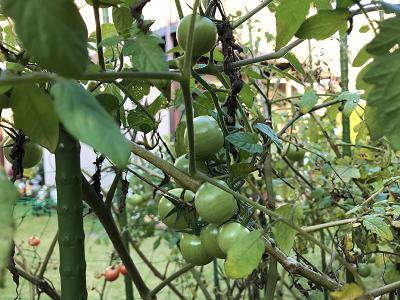 ミニトマト4