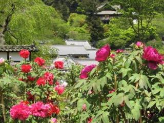 奈良・長谷寺の牡丹�