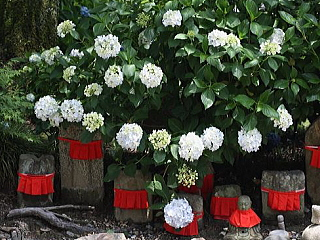 奈良 矢田寺のアジサイ(金剛山寺)