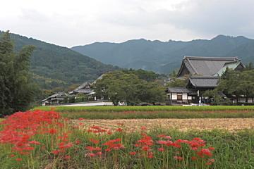 彼岸花と橘寺