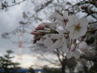 満了日の桜