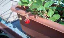 strawberry1051610